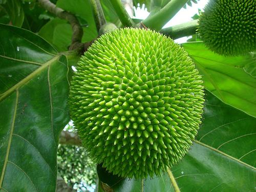 Bread + fruit = breadfruit!